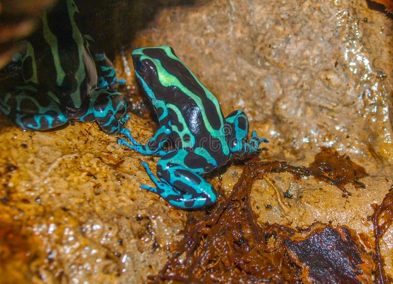 Βάτραχος Dendrobatidae βελών δηλητήριων στοκ φωτογραφία με δικαίωμα ελεύθερης χρήσης