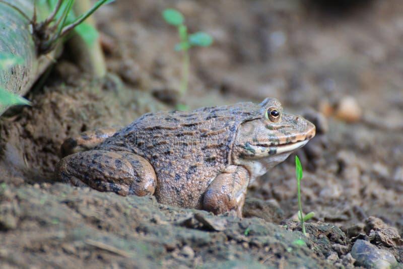 Βάτραχος (rugulosus Hoplobatrachus) στοκ εικόνα