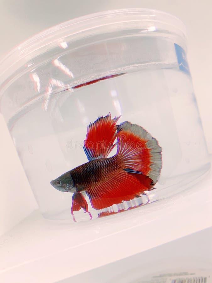 βήτα ψάρια στοκ εικόνες με δικαίωμα ελεύθερης χρήσης