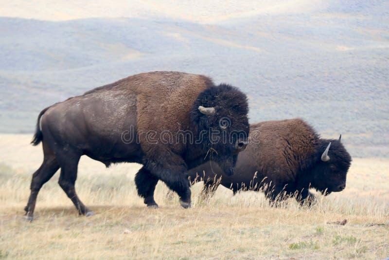 Βίσωνας δύο στο εθνικό πάρκο Yellowstone, Ουαϊόμινγκ στοκ φωτογραφία με δικαίωμα ελεύθερης χρήσης