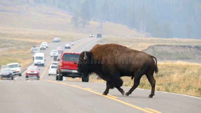 Βίσωνας που διασχίζει το δρόμο στο εθνικό πάρκο Yellowstone, Ουαϊόμινγκ στοκ εικόνα με δικαίωμα ελεύθερης χρήσης