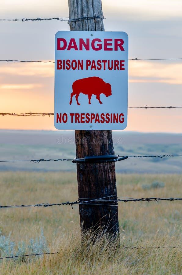 Βίσωνας που διασχίζει το σημάδι σε ένα λιβάδι βισώνων κοντά στο γρήγορο ρεύμα, Saskatchewan στοκ εικόνες