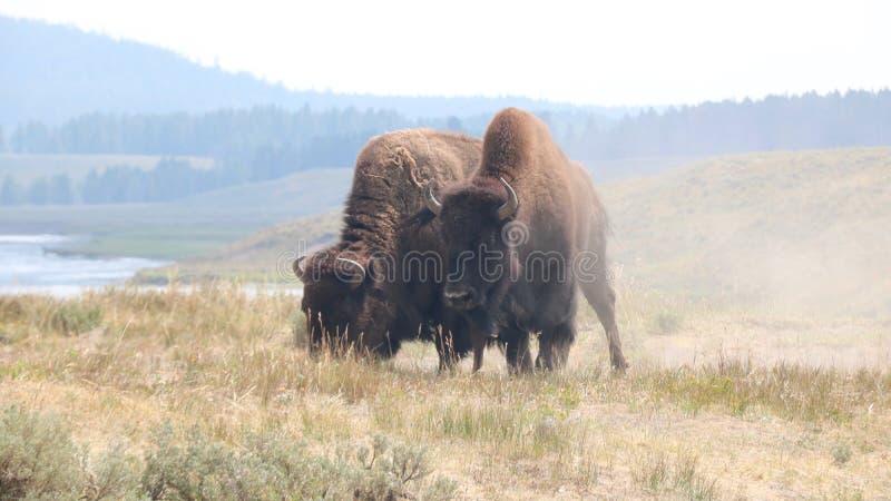 Βίσωνας στο εθνικό πάρκο Yellowstone, Ουαϊόμινγκ στοκ φωτογραφίες