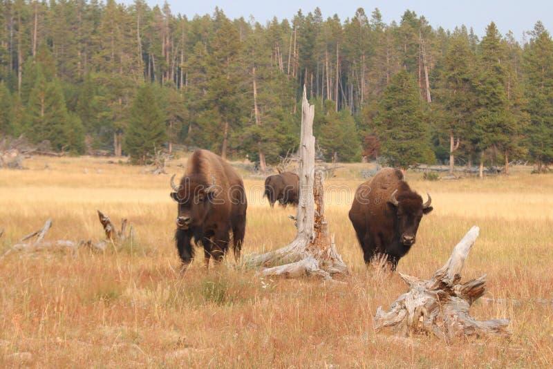 Βίσωνας στο εθνικό πάρκο Yellowstone, Ουαϊόμινγκ στοκ εικόνα