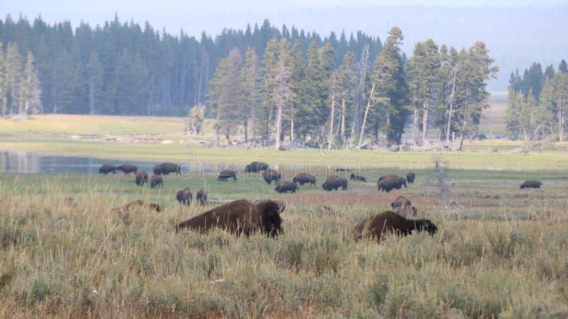 Βίσωνας στο εθνικό πάρκο Yellowstone, Ουαϊόμινγκ στοκ φωτογραφία