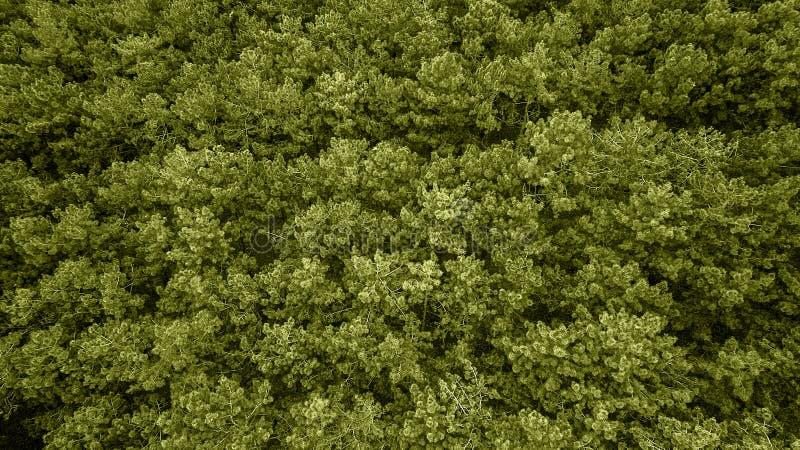 Βαθιά - πράσινες κορυφές πεύκων Τάση του έτους Το χρώμα του έτους 2019 στοκ εικόνα