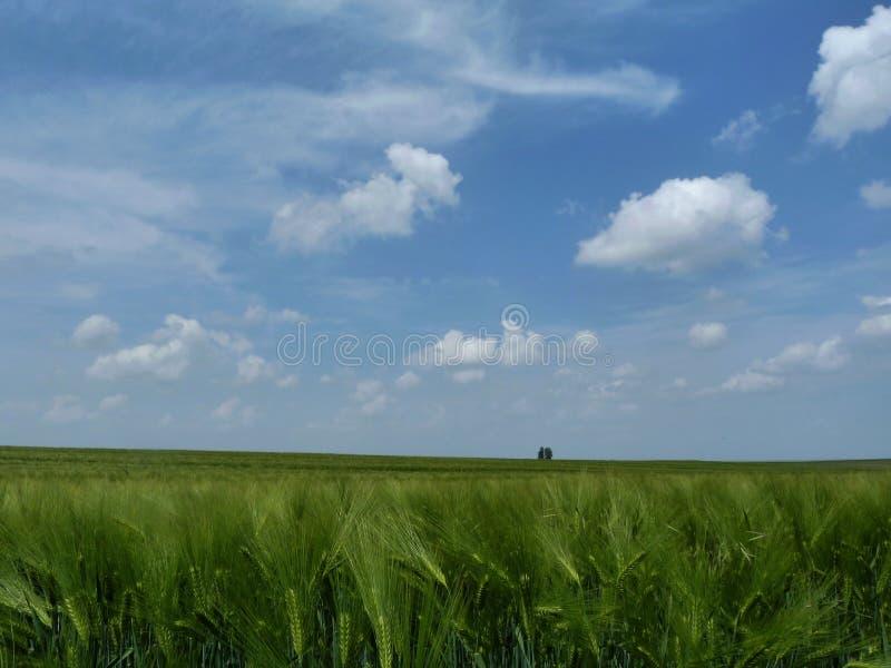 Βαθιά - πράσινος τομέας κριθαριού κάτω από το μπλε ουρανό με τα άσπρα σύννεφα στοκ φωτογραφία με δικαίωμα ελεύθερης χρήσης