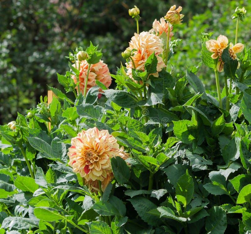 Βαθμός elijah πορτοκαλιά asters cultorum νταλιών Asteraceae λουλουδιών κτιστών στην άνθιση στοκ εικόνες με δικαίωμα ελεύθερης χρήσης