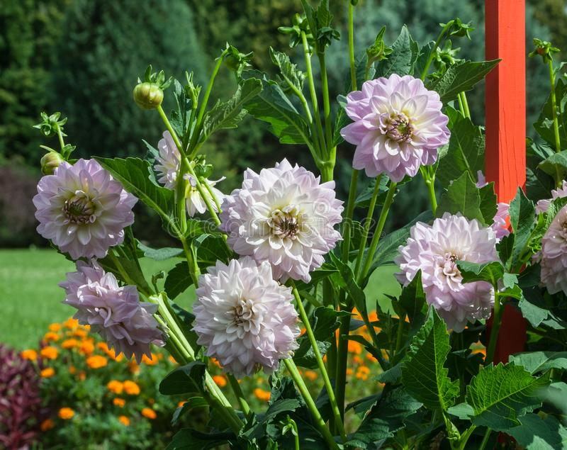 Βαθμός evalds valters cultorum νταλιών Asteraceae άσπρα και πορφυρά στοκ εικόνα