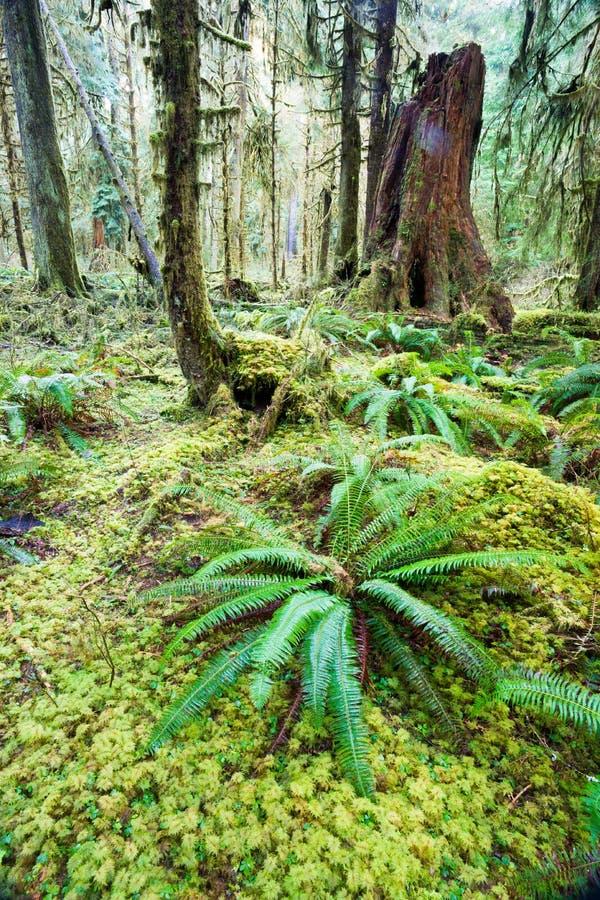 Βαθύ δασικό πράσινο καλυμμένο βρύο τροπικό δάσος Hoh αύξησης δέντρων κέδρων στοκ εικόνα με δικαίωμα ελεύθερης χρήσης