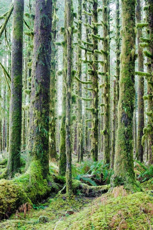 Βαθύ δασικό πράσινο καλυμμένο βρύο τροπικό δάσος Hoh αύξησης δέντρων κέδρων στοκ φωτογραφία με δικαίωμα ελεύθερης χρήσης