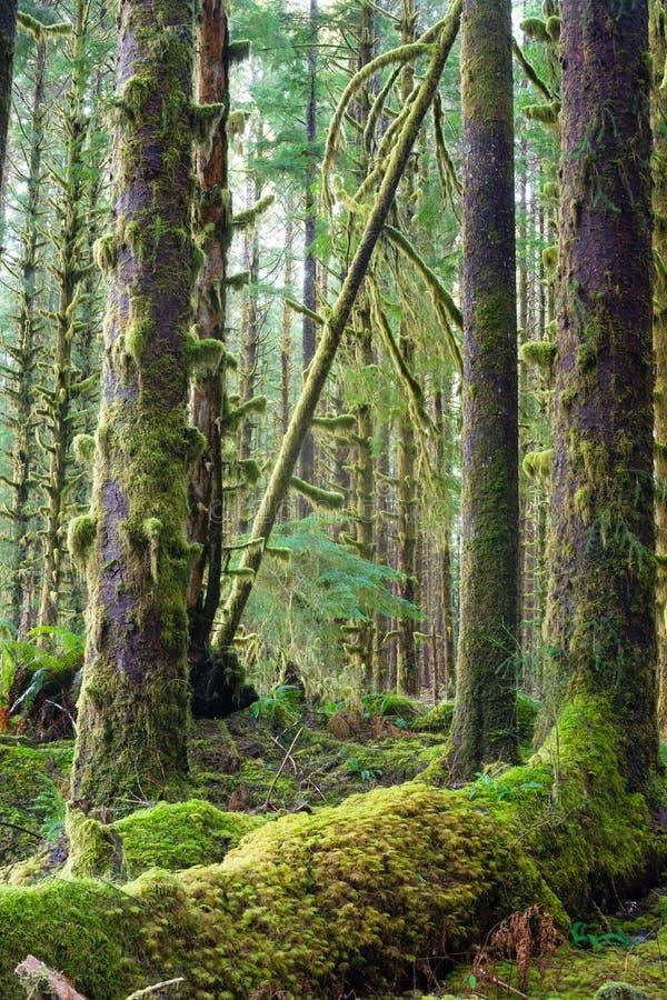 Βαθύ δασικό πράσινο καλυμμένο βρύο τροπικό δάσος Hoh αύξησης δέντρων κέδρων στοκ εικόνες
