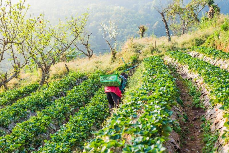 Βακκίνιο φραουλών γεωργίας στον τομέα στοκ φωτογραφία