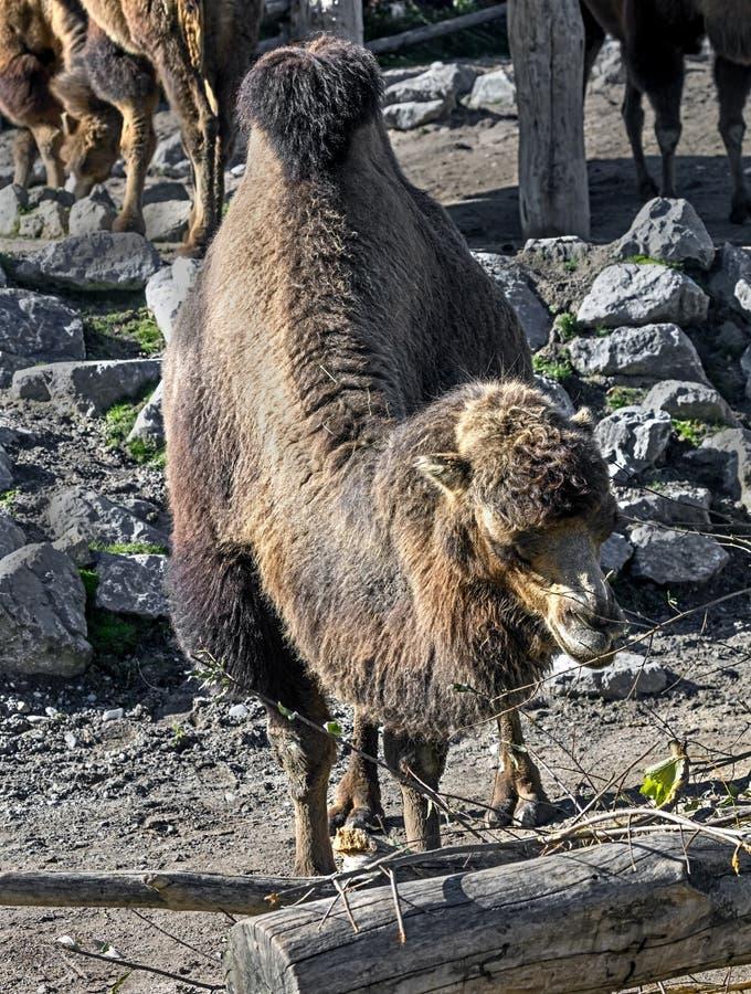 βακτριανή καμήλα 15 στοκ εικόνα