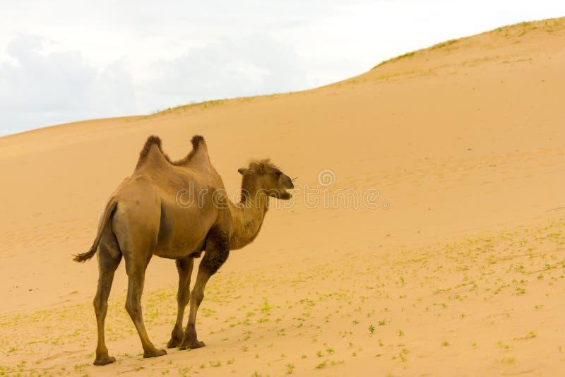Βακτριανή καμήλα Els Khongor που περπατά επάνω τους αμμόλοφους άμμου στοκ εικόνα με δικαίωμα ελεύθερης χρήσης