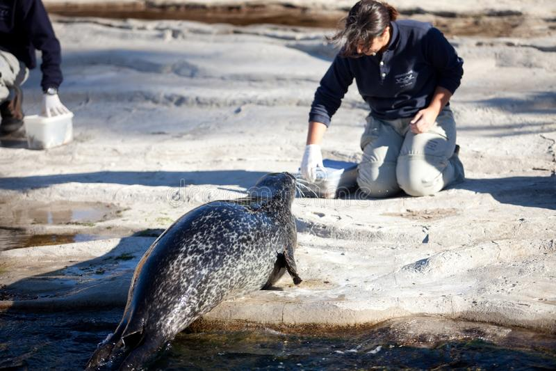 ΒΑΛΈΝΘΙΑ, ΙΣΠΑΝΙΑ - 3 ΝΟΕΜΒΡΊΟΥ 2010: το προσωπικό του πάρκου φύσης ταΐζει τις σφραγίδες με τα ψάρια στοκ φωτογραφία