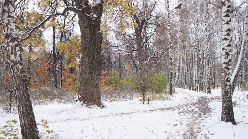 βαλανιδιές παλαιές πρώτο χιόνι στοκ φωτογραφίες