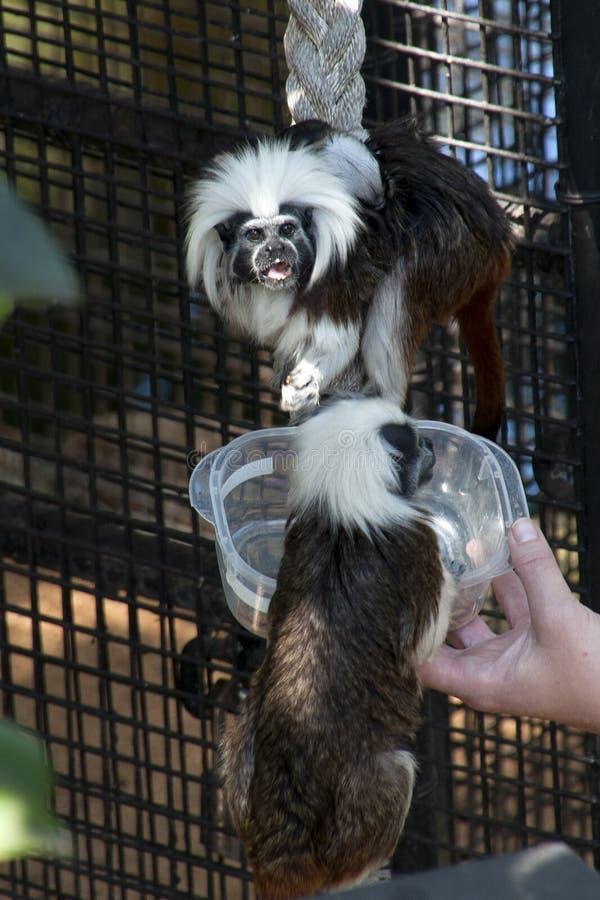 Βαμβάκι-τοπ πίθηκος tamarin που είναι τροφή στην αιχμαλωσία στοκ φωτογραφίες με δικαίωμα ελεύθερης χρήσης