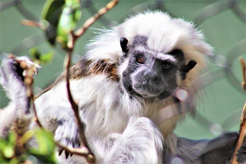 Βαμβάκι τοπ Tamarine, oedipus Saguinus, ζωολογικός κήπος του Phoenix, συντήρηση φύσης, Phoenix, Αριζόνα, στις Ηνωμένες Πολιτείες στοκ φωτογραφία με δικαίωμα ελεύθερης χρήσης