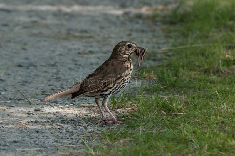 Βαρίδι το πουλί στοκ φωτογραφία