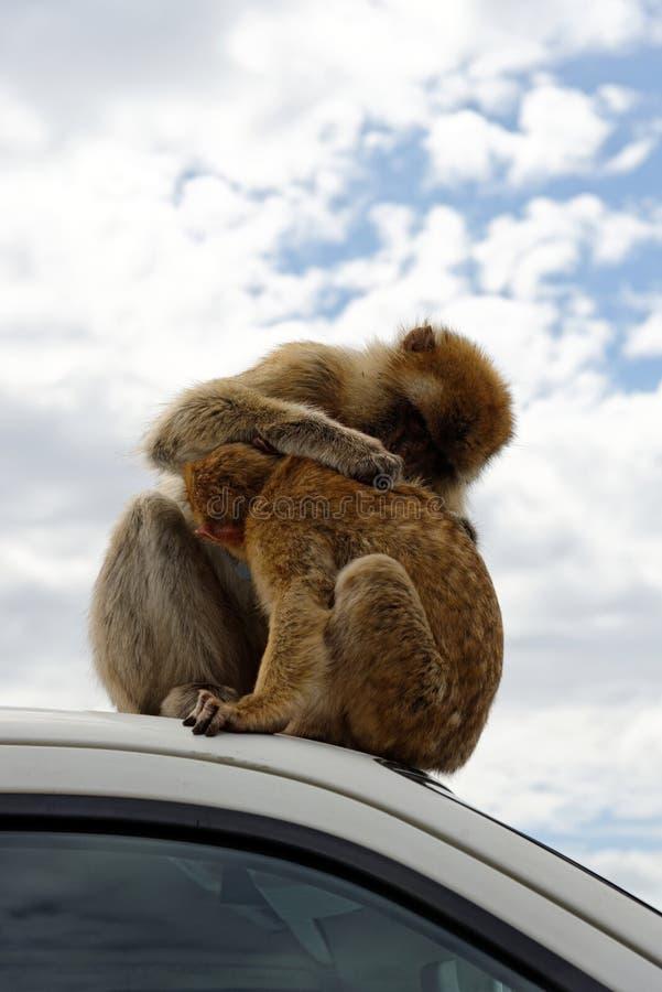 Βαρβαρία macaque μέσα, βρετανικά υπερπόντια εδάφη του Γιβραλτάρ στοκ φωτογραφίες