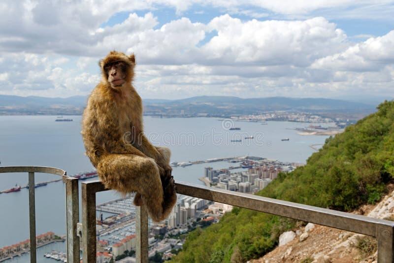 Βαρβαρία macaque μέσα, βρετανικά υπερπόντια εδάφη του Γιβραλτάρ στοκ εικόνα