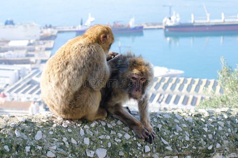 Βαρβαρία Macaques στοκ εικόνες με δικαίωμα ελεύθερης χρήσης