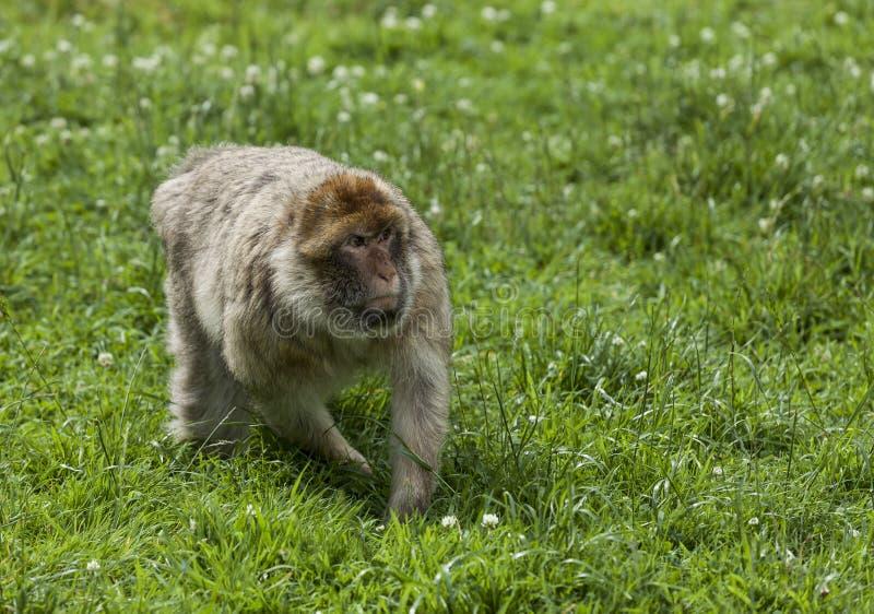 Βαρβαρία Macaques στοκ φωτογραφία με δικαίωμα ελεύθερης χρήσης