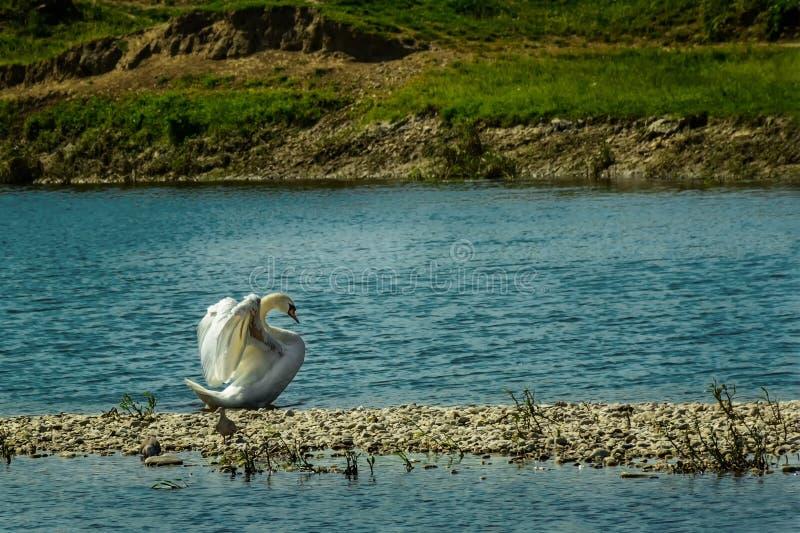 Βασίλισσα ομορφιάς του Κύκνου που τεντώνει τα φτερά στοκ φωτογραφία με δικαίωμα ελεύθερης χρήσης