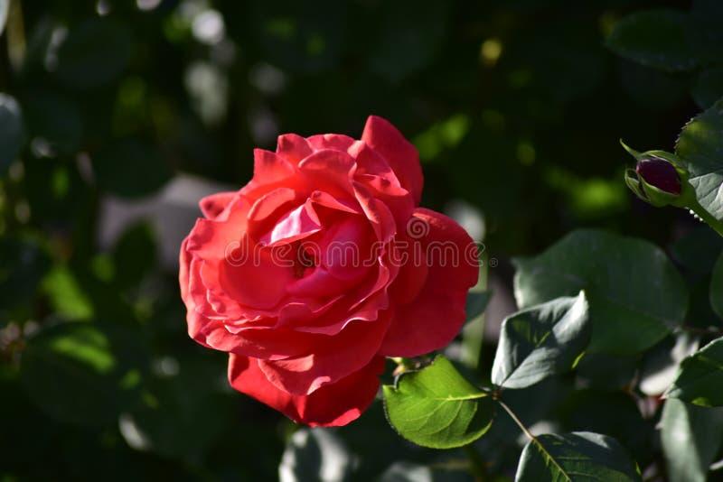 Βασίλισσα των λουλουδιών - - αυξήθηκε λουλούδι στοκ φωτογραφίες με δικαίωμα ελεύθερης χρήσης