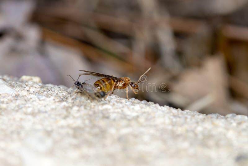 Βασίλισσα μυρμηγκιών πεζοδρομίων στοκ φωτογραφίες με δικαίωμα ελεύθερης χρήσης