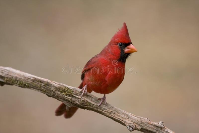 βασικό κόκκινο δέντρο κλ&alpha στοκ εικόνα με δικαίωμα ελεύθερης χρήσης