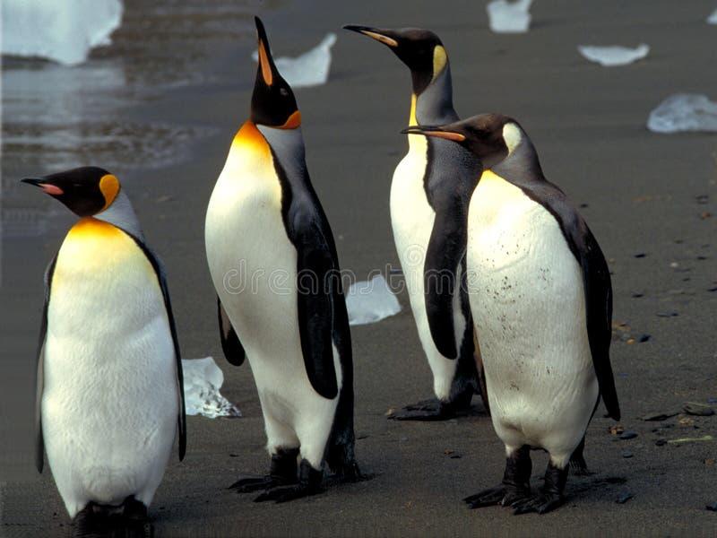 βασιλιάδες penguins στοκ φωτογραφίες