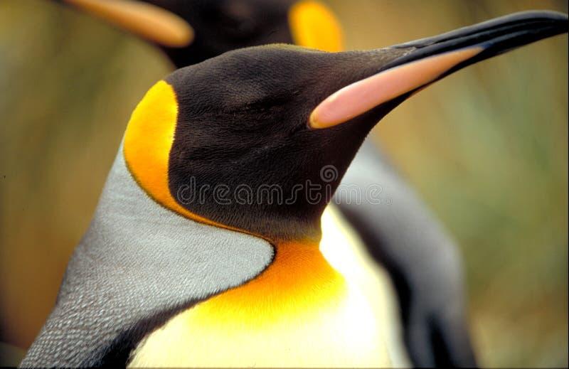 βασιλιάς penguin στοκ φωτογραφίες