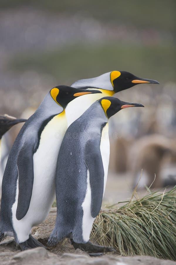 βασιλιάς penguins που προσέχει στοκ φωτογραφία με δικαίωμα ελεύθερης χρήσης