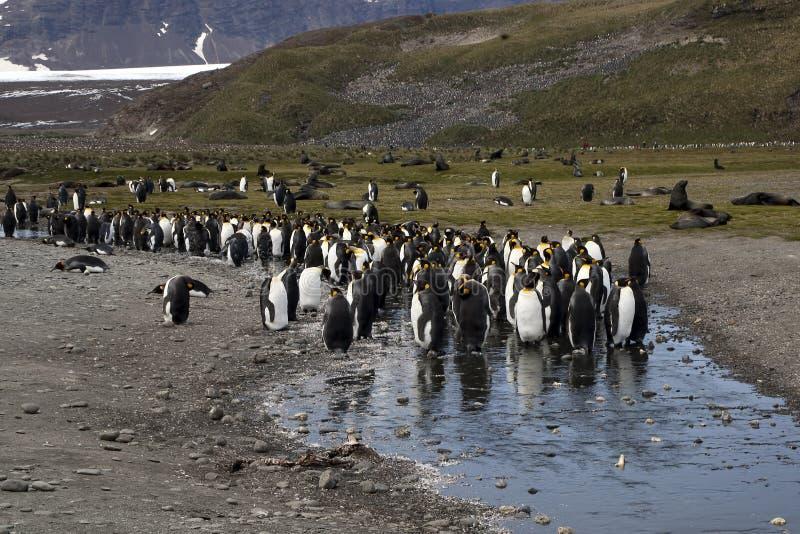 Βασιλιάς penguins στο ρεύμα με τις ανταρκτικές σφραγίδες γουνών στο υπόβαθρο στοκ φωτογραφίες