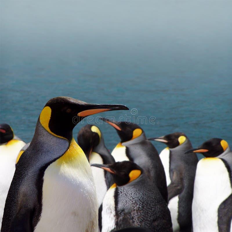 βασιλιάς penguins στοκ φωτογραφία
