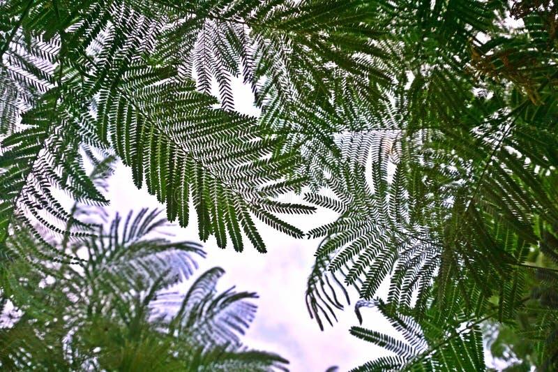 Βασιλικά φύλλα δέντρων poinciana που φαίνονται συμπαθητικά στο χρόνο ημέρας στοκ φωτογραφίες