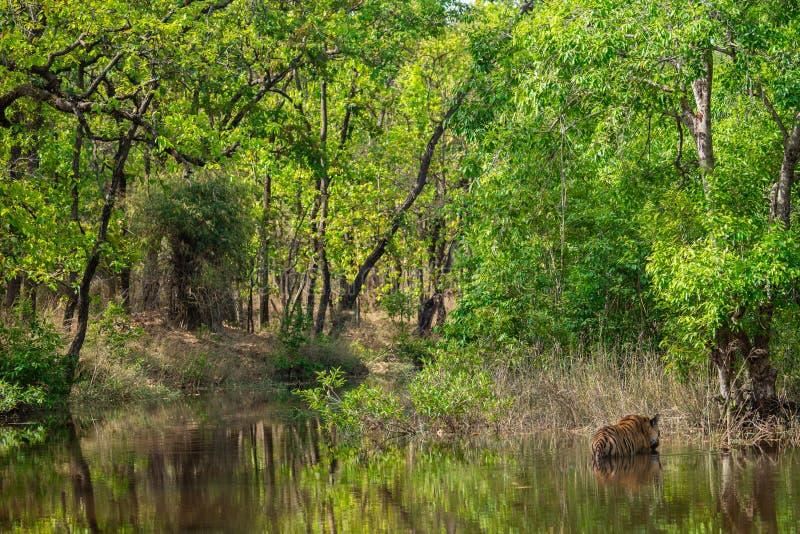 Βασιλική αρσενική τίγρη της Βεγγάλης που στηρίζεται και που δροσίζει μακριά στο σώμα νερού Ζώο στο πράσινο δάσος και στο βιότοπο  στοκ εικόνες με δικαίωμα ελεύθερης χρήσης