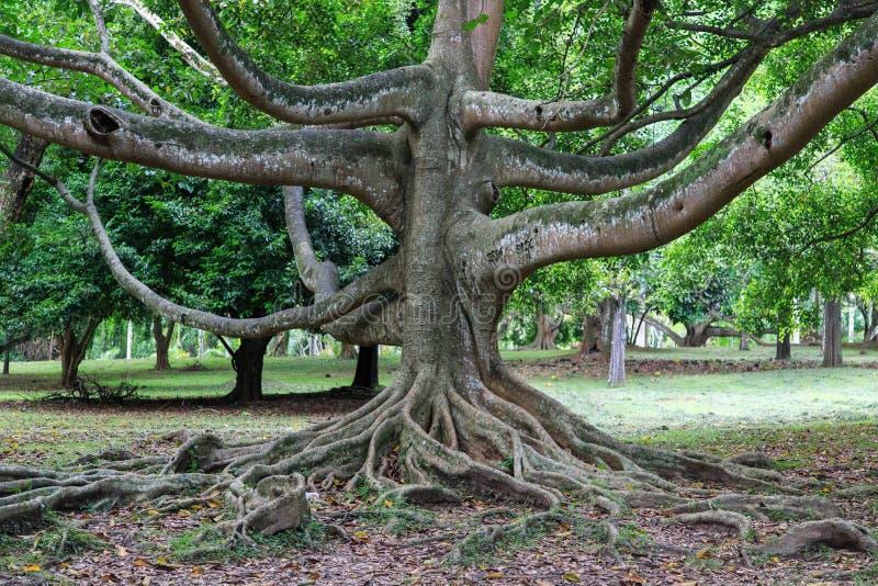 Βασιλικοί βοτανικοί κήποι Peradeniya - Kandy - Σρι Λάνκα στοκ φωτογραφία