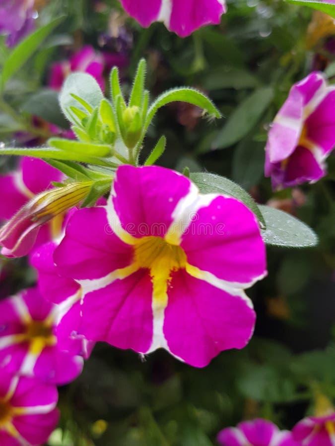 Βασιλικό λουλούδι κήπων στοκ εικόνες