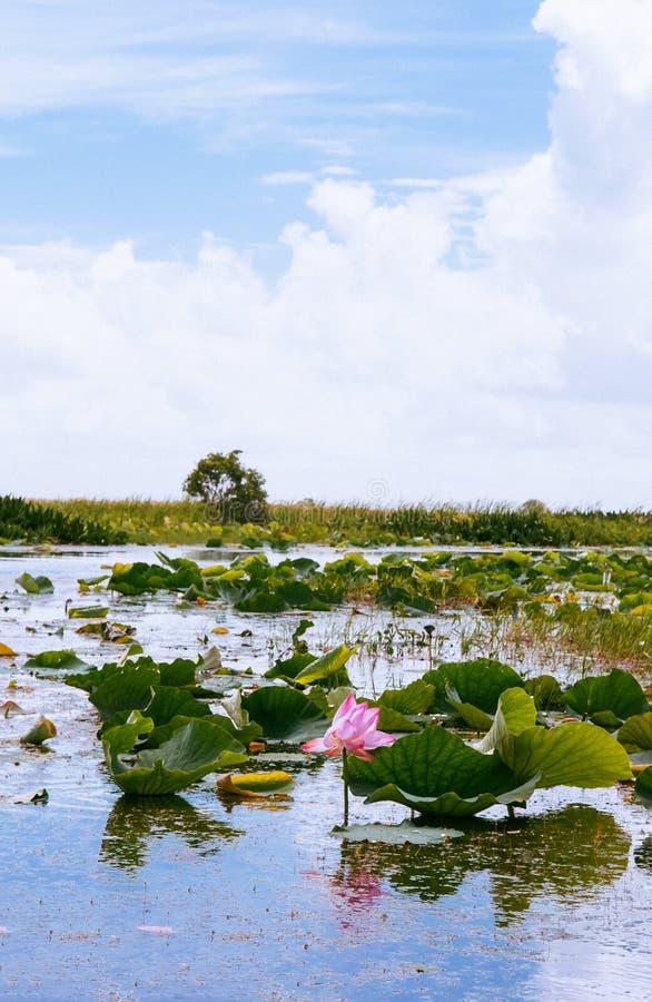 Βασιλικό λουλούδι λωτού στην επιφύλαξη πτηνών Talay Noi, resevior υγρότοπου Ramsar της λίμνης Songkhla, Phattalung - Ταϊλάνδη στοκ εικόνα