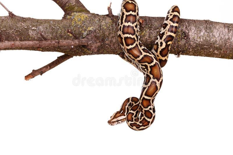 Βασιλικό boa οχιών python μαυριτανικό φίδι σε έναν κλάδο με τα λουλούδια που απομονώνονται στο λευκό στοκ φωτογραφίες με δικαίωμα ελεύθερης χρήσης