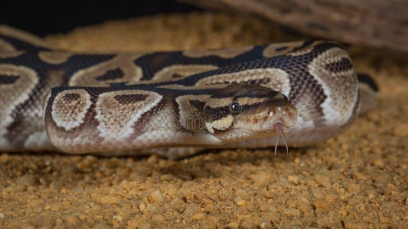 Βασιλικό python με την καρφωμένη με τη διχάλα γλώσσα στοκ φωτογραφίες
