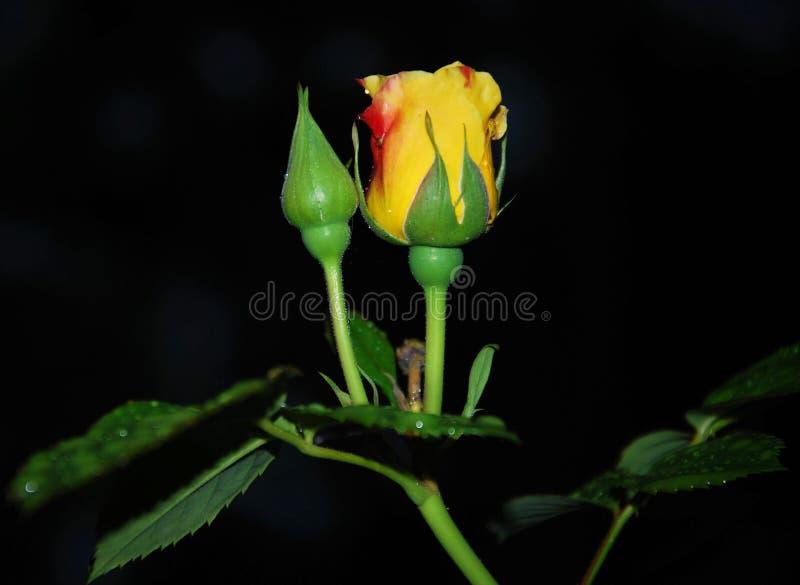 ΒΑΣΙΛΙΣΣΑ ΝΥΧΤΑΣ: Κίτρινος αυξήθηκε στοκ εικόνες με δικαίωμα ελεύθερης χρήσης