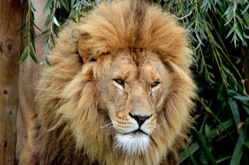 Βασιλιάς λιονταριών στοκ εικόνα με δικαίωμα ελεύθερης χρήσης