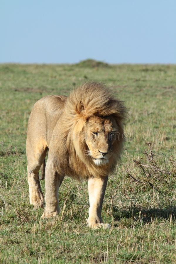 Βασιλιάς του αφρικανικού λιονταριού της Mara στοκ εικόνες