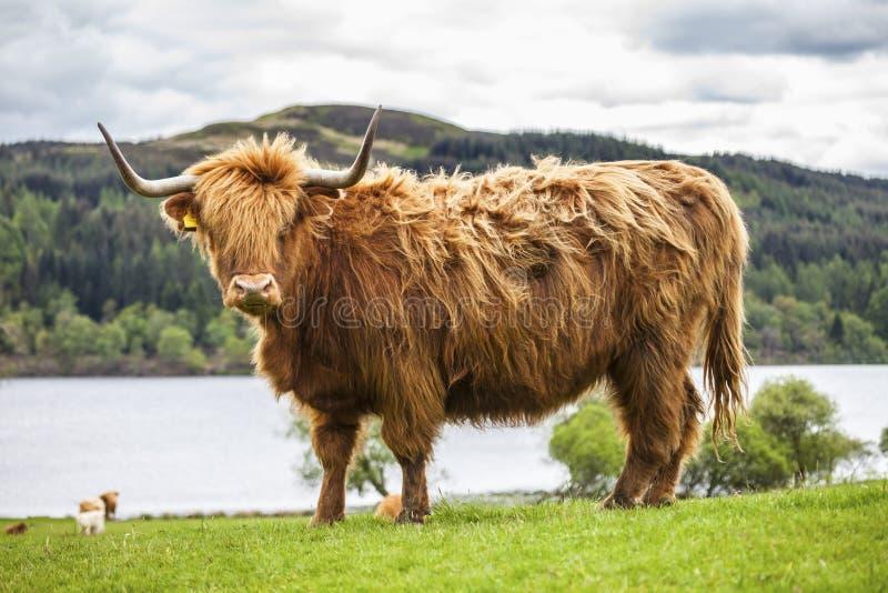 Βασιλιάς του λιβαδιού - απίστευτα σκωτσέζικα βοοειδή στοκ φωτογραφία με δικαίωμα ελεύθερης χρήσης