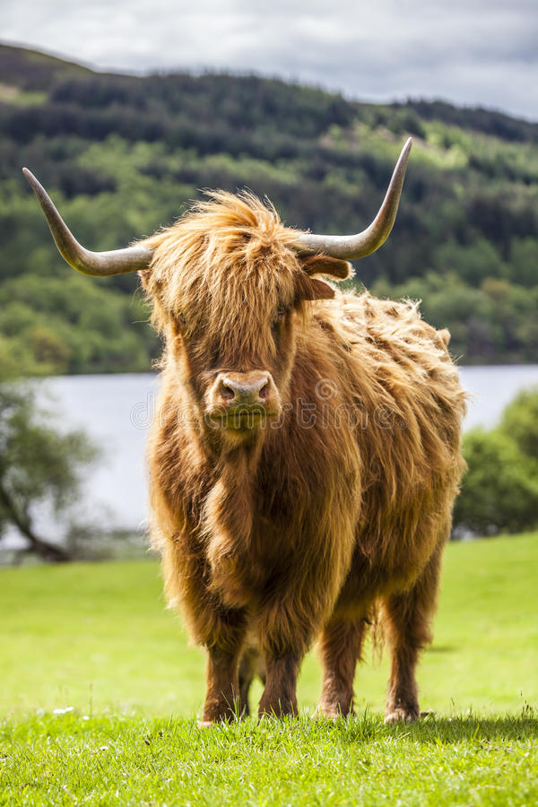 Βασιλιάς του λιβαδιού - απίστευτα σκωτσέζικα βοοειδή στοκ φωτογραφίες με δικαίωμα ελεύθερης χρήσης