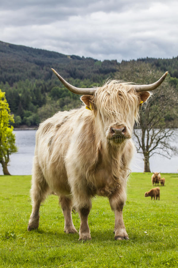 Βασιλιάς του λιβαδιού - απίστευτα σκωτσέζικα βοοειδή στοκ εικόνες με δικαίωμα ελεύθερης χρήσης